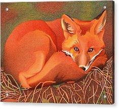 Red Fox Acrylic Print by Dan Miller