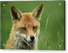 Red Fox Acrylic Print by Duncan Shaw/science Photo Library