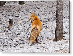 Acrylic Print featuring the photograph Red Fox Egg Thief by John Wadleigh