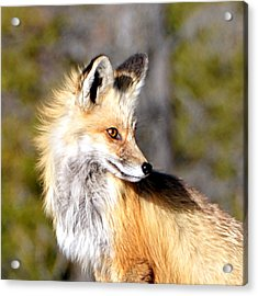 Red Fox Face Acrylic Print