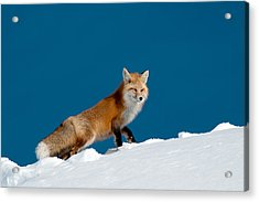 Red Fox Acrylic Print by Gary Beeler