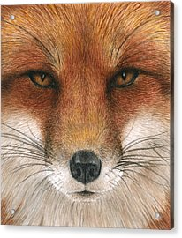 Red Fox Gaze Acrylic Print