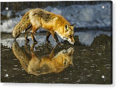Red Fox Has A Drink Acrylic Print