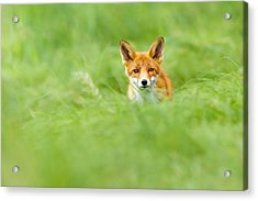 Red Fox In A Sea Of Green Acrylic Print
