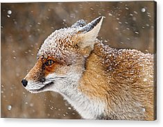 Red Fox In A Snow Storm Acrylic Print