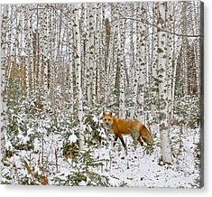 Red Fox In Birches Acrylic Print by Jack Zievis