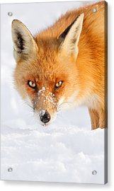 Red Fox In The Snow Acrylic Print by Roeselien Raimond