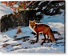 Acrylic Print featuring the photograph Red Fox In Winter by Diane Alexander