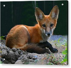 Red Fox Acrylic Print by Kristin Elmquist