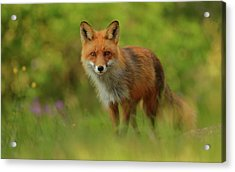 Red Fox Lady Acrylic Print