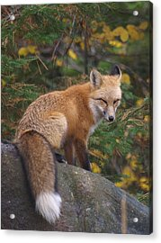 Acrylic Print featuring the photograph Red Fox by James Peterson
