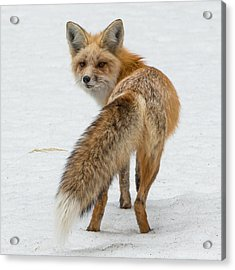 Acrylic Print featuring the photograph Red Fox Of Silver Gate by Yeates Photography