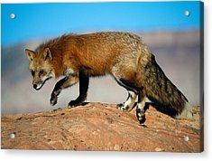 Red Fox On Hilltop Acrylic Print