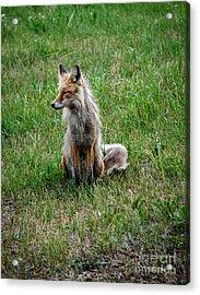 Red Fox Portrait Acrylic Print by Robert Bales