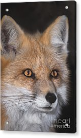 Acrylic Print featuring the photograph Red Fox Portrait Wildlife Rescue by Dave Welling