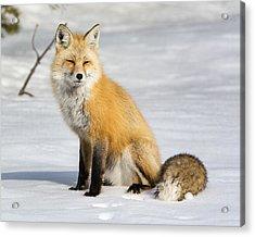 Red Fox Sitting Acrylic Print