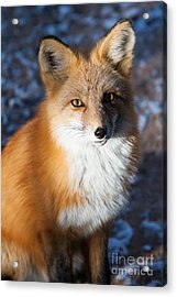 Acrylic Print featuring the photograph Red Fox Standing by John Wadleigh