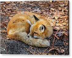 Acrylic Print featuring the photograph Red Fox  by Trace Kittrell