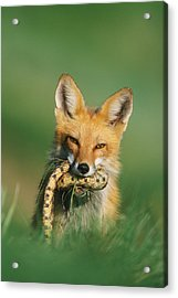 Red Fox With Snake Acrylic Print