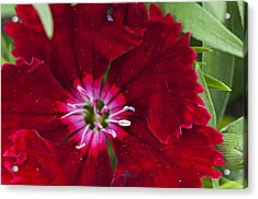 Red Geranium 1 Acrylic Print by Steve Purnell