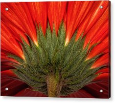 Acrylic Print featuring the photograph Red Gerber Daisy by Bob Coates