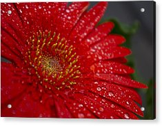 Red Gerber In The Rain Acrylic Print by Shelly Gunderson
