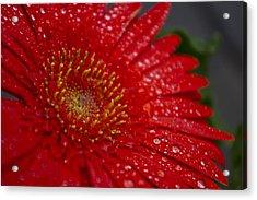 Red Gerber In The Rain Acrylic Print