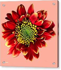 Red Gerbera Daisy Painting Acrylic Print