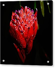 Red Ginger Acrylic Print