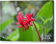 Acrylic Print featuring the photograph Red Ginger by Laurel Best
