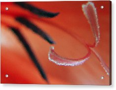 Red Gladiolus Abstract Acrylic Print by Ben and Raisa Gertsberg