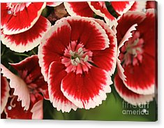 Red Glory All Profits Go To Hospice Of The Calumet Area Acrylic Print