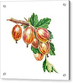 Red Gooseberries Bunch Acrylic Print by Irina Sztukowski