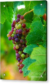 Red Grapes Acrylic Print by Hannes Cmarits