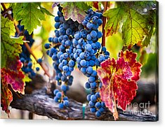 Blue Grapes On The Vine Acrylic Print by George Oze