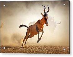 Red Hartebeest Running In Dust Acrylic Print by Johan Swanepoel