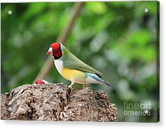 Red Headed Gouldian Finch Acrylic Print