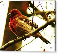 Red Headed House Finch Acrylic Print by B Wayne Mullins
