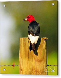 Acrylic Print featuring the photograph Red-headed Woodpecker by Olivia Hardwicke