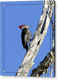 Red Headed Woodpecker Acrylic Print by Susan Leggett