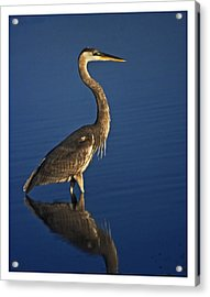 Red Heron Wading Acrylic Print
