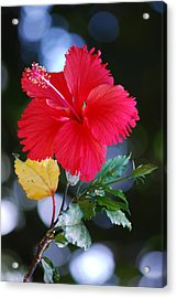 Red Hibiscus Flower Acrylic Print by Michelle Wrighton