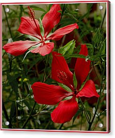 Red Hibiscus Blooms Acrylic Print by James C Thomas