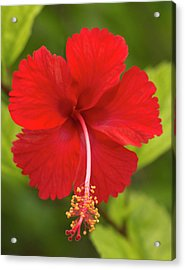 Red Hibiscus, Hibiscus Rosa-sinensis Acrylic Print by William Sutton
