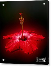 Red Hibiscus Tropical Flower Acrylic Print by Carol F Austin