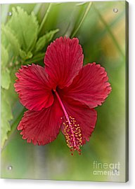 Red Hibiscus Acrylic Print by Wendy Townrow