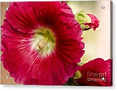 Red Hollyhock Althaea Rosea Acrylic Print by Sue Smith