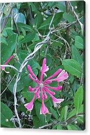 Red Honeysuckle Bloom Acrylic Print