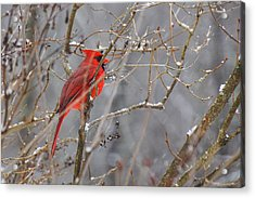 Red Hot In A Snowstorm Acrylic Print