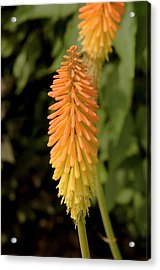 Red-hot Poker (kniphofia 'fiery Fred' ) Acrylic Print by Adrian Thomas